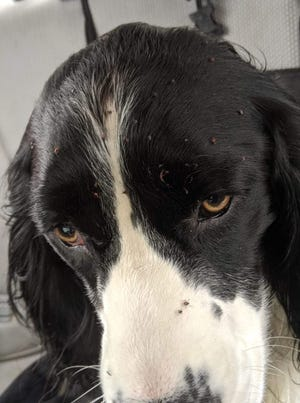 Jango, a 1-year-old springer spaniel in Stevens Point, had about 250 ticks pulled off of him after going hunting with his owner in October.