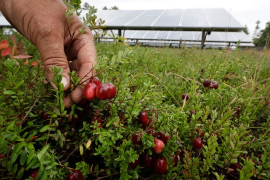 In this Wednesday, Oct. 2, 2019, photo, cranberry grower Mike Paduch holds some cranberries growing in the same bog where solar arrays are installed, behind, in Carver, Mass. Plummeting cranberry prices has America's cranberry industry eyeing a possible new savior: solar power.