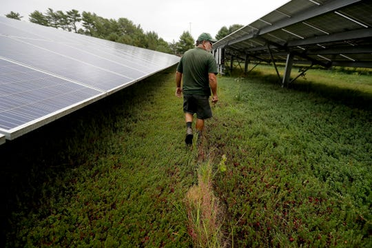 In this Wednesday, Oct. 2, 2019, photo, cranberry grower Mike Paduch walks among solar arrays in a cranberry bog at his farm, in Carver, Mass. Plummeting cranberry prices has America's cranberry industry eyeing a possible new savior: solar power.