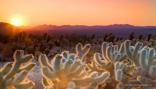 "Getting up for sunrise at Joshua Tree National Park is definitely worth it. The Cholla Cactus Garden, pictured here, is especially spectacular in the morning hours. ""I love the joy I see when a newcomer to this place sees a forest of Joshua trees for the first time,"" says Albrinck."