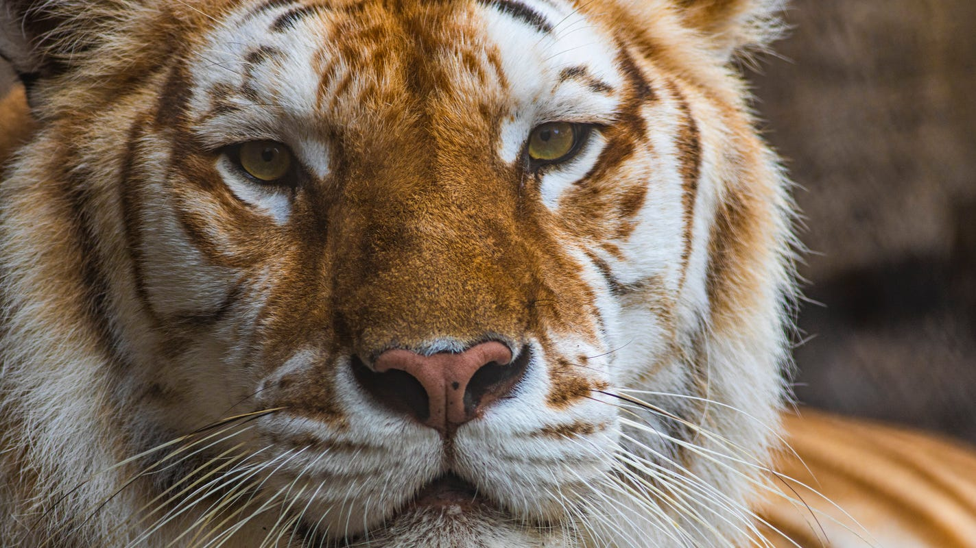Man in custody after tiger spotted walking around front yard in a Houston neighborhood