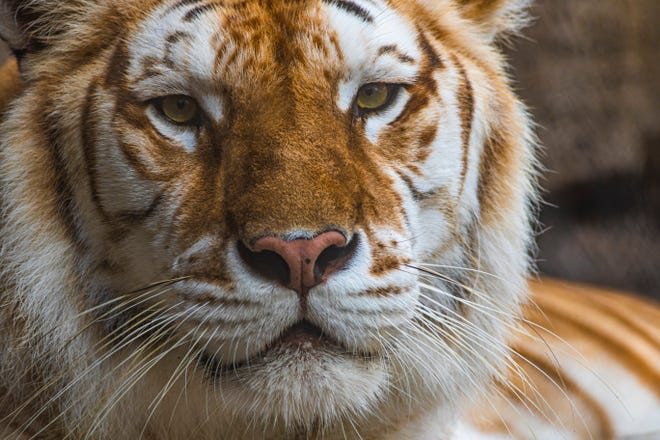 Bala, a 13-year-old Bengal tiger who lived at Busch Gardens Tampa Bay, died after a fight with her brother.