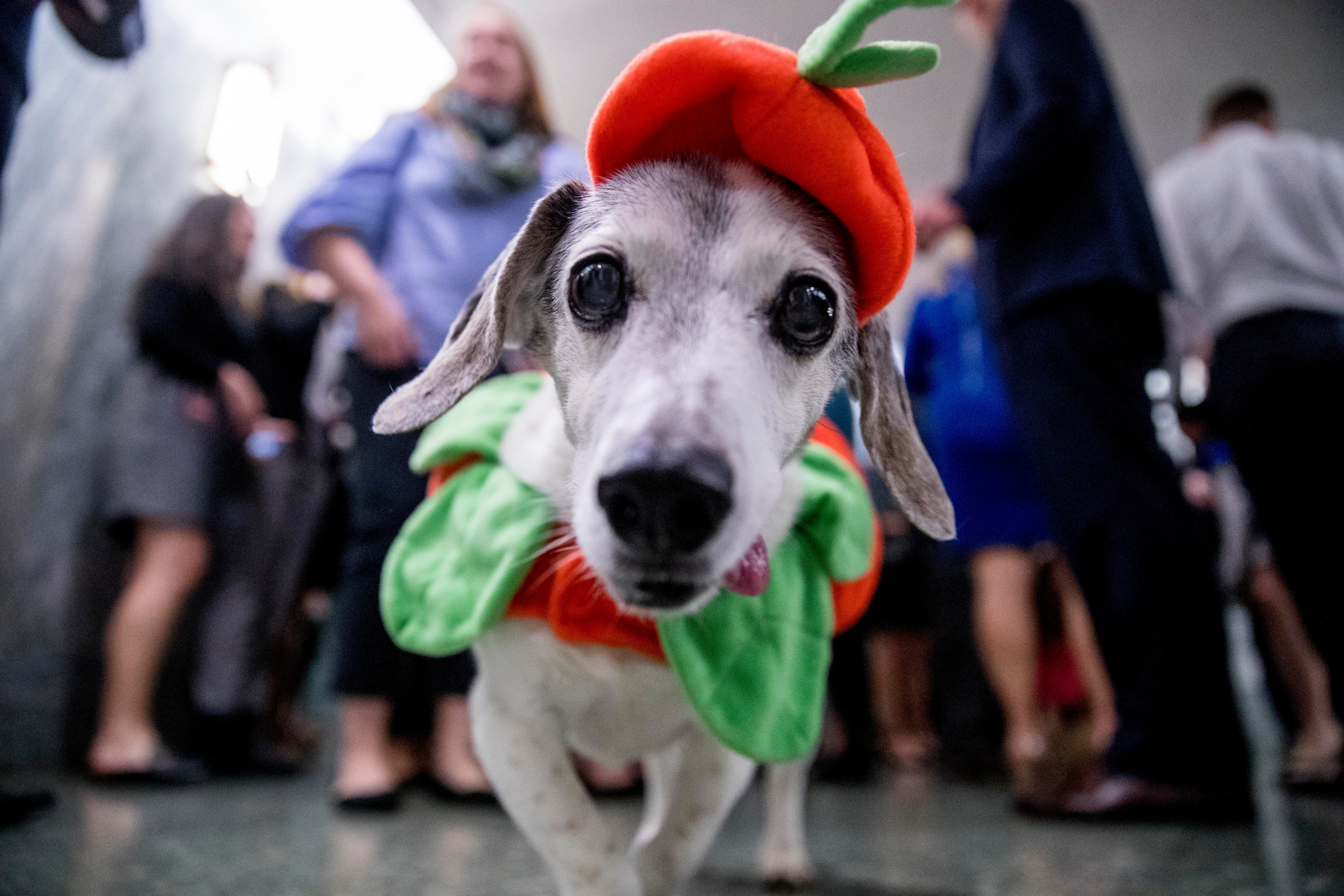 Halloween Political pups show off costumes on Capitol Hill