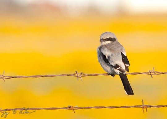 The Loggerhead Shrike stores its prey by impaling it on a thorn or barbed wire fence.