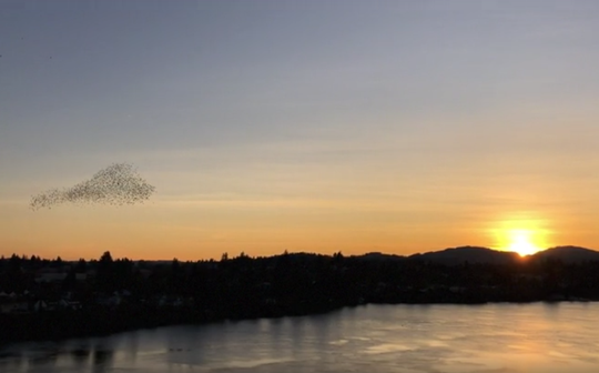 Starlings' murmuration forms what looks like a beating heart over the Warren Avenue Bridge.