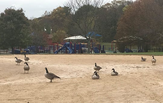 Geese make themselves at home on a baseball field at Challenge Grove Park in Cherry Hill.