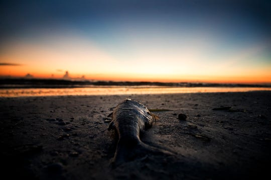 A dead decomposing mullet lies on Fort Myers Beach on Thursday, October, 31, 2019. FILE