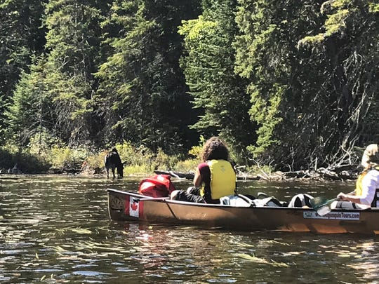 A moose grazes on aquatic plants while paddlers observe at Canoe Lake in Algonquin Provincial Park. An estimated 3,000 moose inhabit the park.