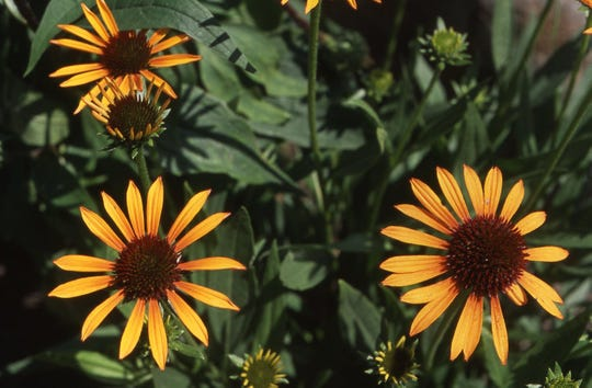 The yellow coneflower or echinacea is among the most popular perennials. Butterflies love the flowers, birds love the seeds and gardeners love the long-lasting cut flowers.