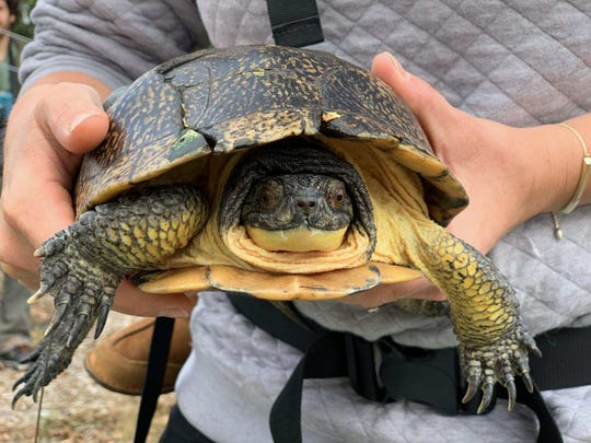 After suffering several shell fractures over three years ago, a Blanding's turtle that was rehabilitated at the Wildlife In Need Center was finally released.