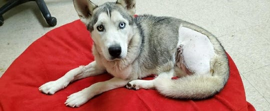 A husky named Sister recovers after having an injured leg removed due to alleged cruelty and neglect, according to the Yavapai County Sheriff's Office.
