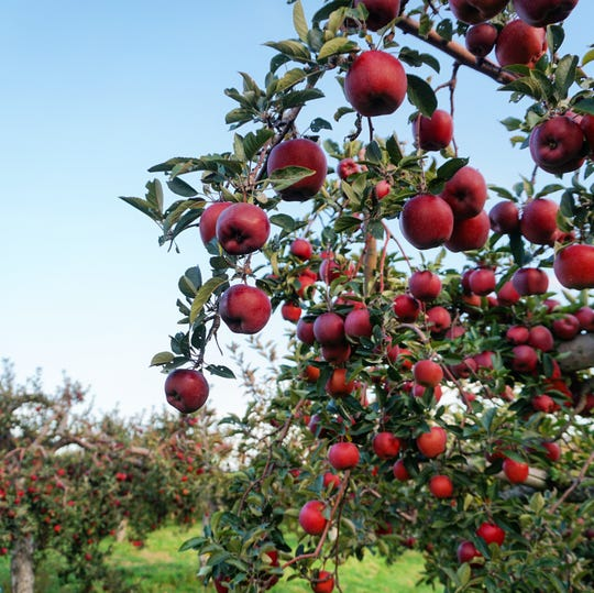 The pick-your-own apple season may be over, but you can still buy apples that have been picked and stored by Fishkill Farms right up to the day before Thanksgiving for homemade pies and more.