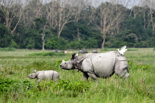 An Indian one-horned rhinoceros (Rhinoceros unicornis) and its calf walk at The Pobitora Wildlife Sanctuary in the Morigaon district of the north-eastern state of Assam.