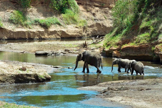 A family of elephants walk through the Mara River in the Mara basin in south-west Kenya.