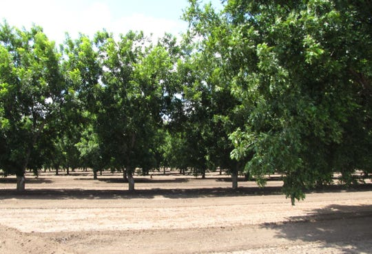 Pecans perform best in deep, well-drained soil that is weed-free around the tree. Remove all vegetation and apply mulch to help keep weeds at bay for newly planted trees to establish quickly.