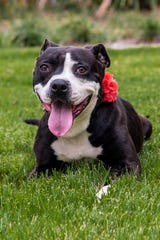 Jolie's adoption fee is $45, which includes her spay surgery, vaccines, a 6-months-supply of heartworm prevention.