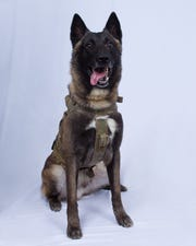 Conan, a military dog who sustained minor injuries during the U.S. near the Syria-Turkey border that killed the leader of the Islamic State.