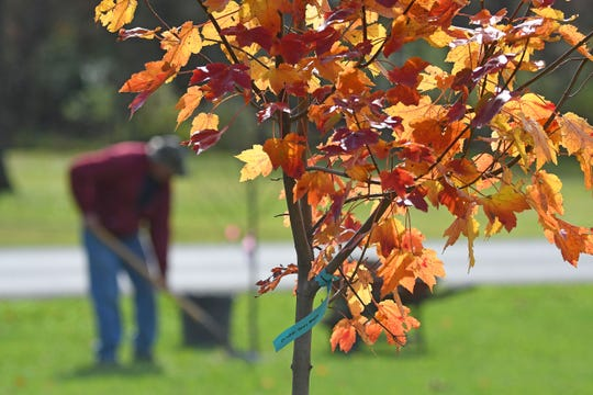 Workers from Crawford Nursery are planting 23 new trees at Aumiller Park. The trees are a mix of maple and oak trees.