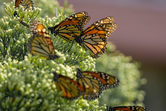 Thousands of monarch butterflies are stopping along the Gulf Coast this week as part of their migration pattern, which sends them along the eastern seaboard toward Mexico.