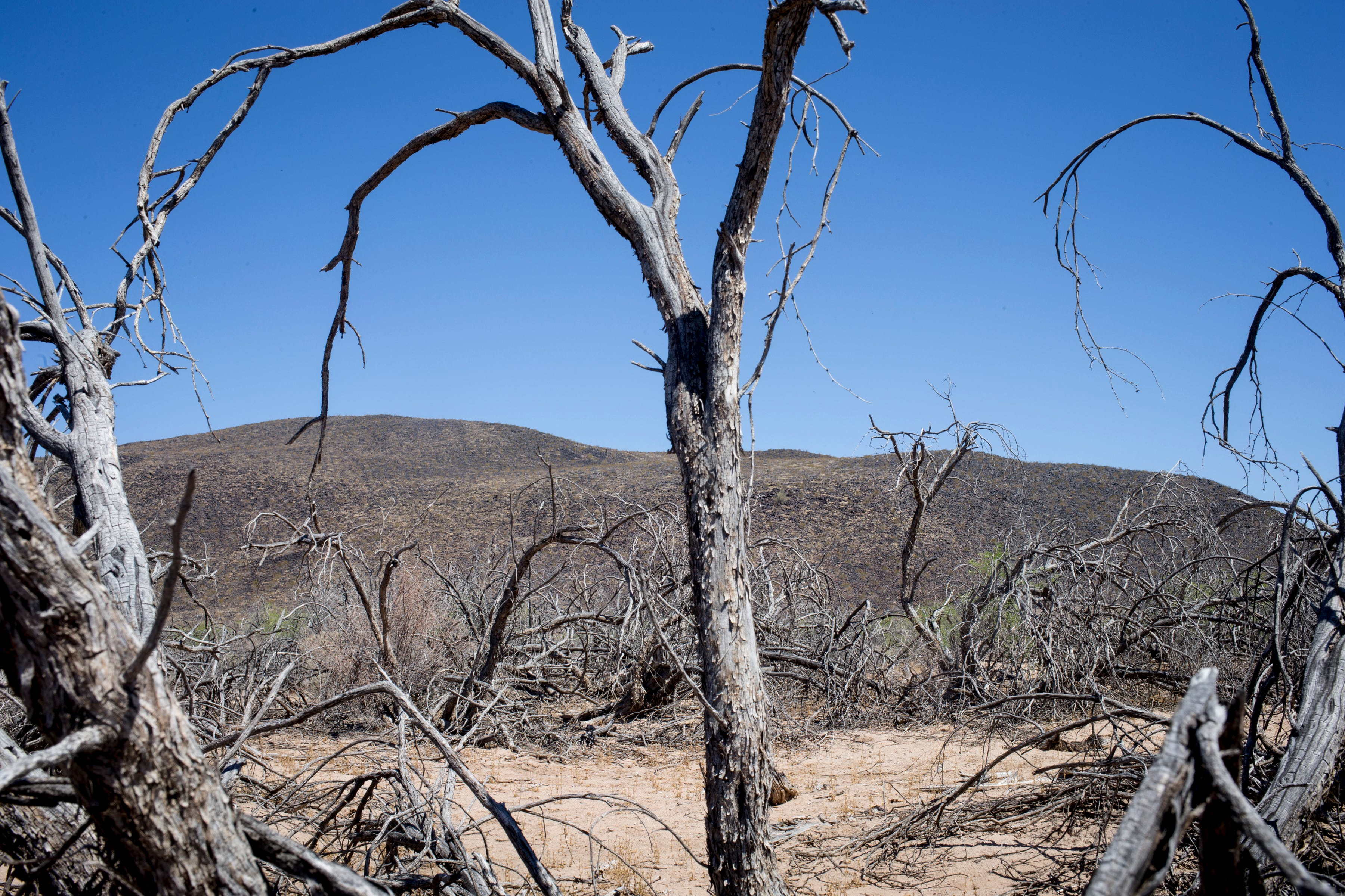 Dead mesquite trees line Old Agua Caliente Road near Hyder, where a hot spring dried up decades ago.