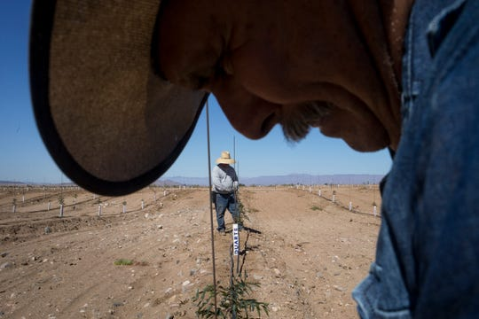 Eusebio Rivera (front) and Jamie Rodriguez work on an irrigation line, Oct. 8, 2019, in a field of young pistachio trees at Peacock Nut Co. in Kingman.
