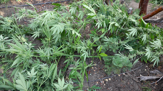 Authorities cut down marijuana found growing illegally in Mariposa County during a statewide raid on illegal growing operations.
