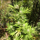 Authorities found this marijuana plant growing in Mariposa County during a statewide raid on illegal cannabis growing operations.