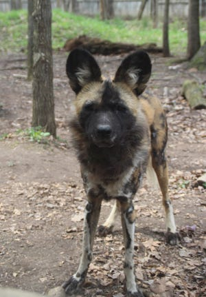 Binder Park Zoo announced that their African painted dog, Verizon, has unexpectedly died from a stomach condition.