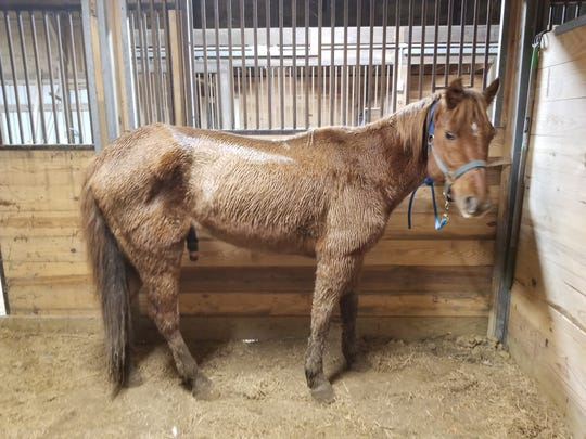Charlie, a 12 year old horse, was found tied to a tree in the rain and believed to be 250 pounds underweight.