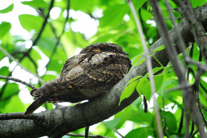 Photographed in 2008, a whip-poor-will perches on its day roost. An insect-eating species in steep decline, whip-poor-will populations dropped 69 percent between 1966 and 2010.