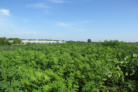 Farmers interested in growing now-legal hemp have little information to guide them. Research from Purdue University scientists, led by Kevin Gibson, will answer questions related to organic production of the crop.