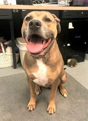 Abby is a four-year-old Mastiff needing a home.