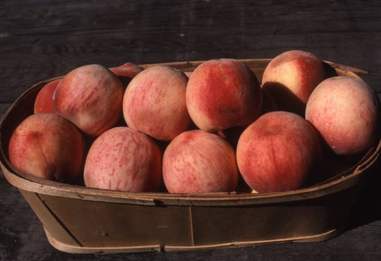Sometime in the future, research will be able to delay the bloom period of peaches and prevent frost damage in thespring. This will enable trees to have crops every year. Pictured here is a basket of large white peaches named Eden.