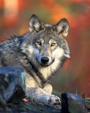 There was a potential wolf sighting Nov. 1 at the open field by Pop's Frozen Custard, N87 W16459 Appleton Ave.  Wolves are not common in the southeastern part of the state, according to the DNR, but there has been at least one confirmed wolf sighting in every county in Wisconsin since the 70s.