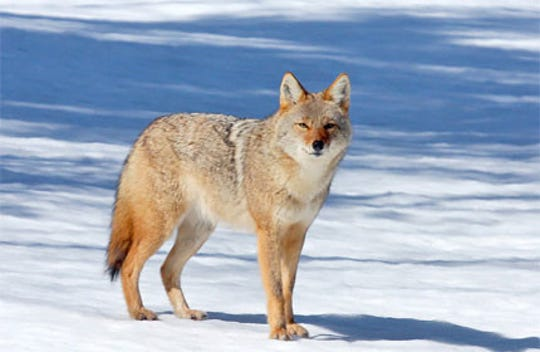 The state Department of Natural Resources has said that although it is possible there was a wolf spotted in Menomonee Falls, it is more likely that it was a coyote, like the one pictured here. Coyotes are lighter in color, have pointed noses and are about half the size of wolves.