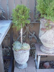 Container-grown rosemary topiaries are ideal for the porch, patio or a condo.