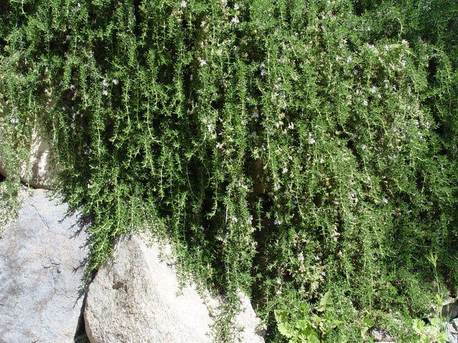 Creeping rosemary, Rosmarinus prostratus, drapes down boulders on a Palm Springs hillside.