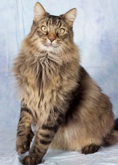 Chewbacca is available for adoption at 952 W. Melody Avenue in Gilbert. For more information, call 480-497-8296, or visit azfriends.org.