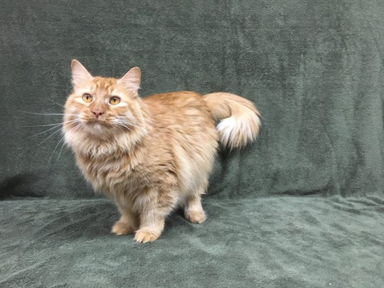 King Simba is available for adoption at 10807 N. 96th Avenue in Peoria. For more information, call 623-773-2246  after 10 a.m.
