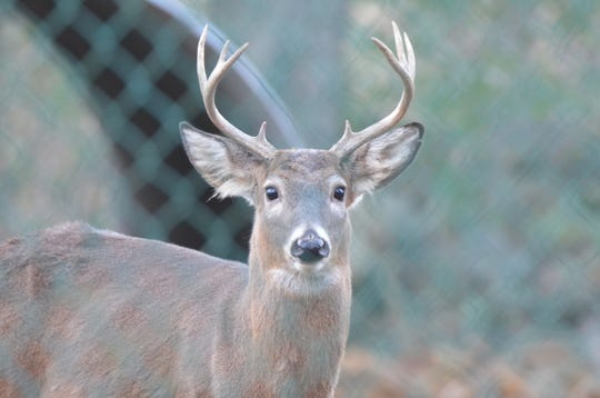 A whitetail buck.