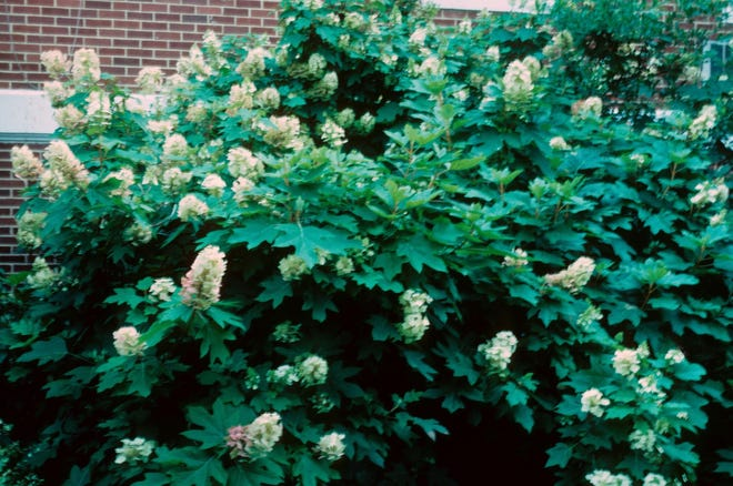 Oakleaf hydrangea, available in this year's Leon County Adopt-a-Tree Program, and has large snowy white blooms throughout the summer.