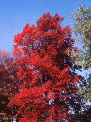 Black tupelo is available as part of this year's Leon County Adopt-a-Tree Program and has spectacular fall color.