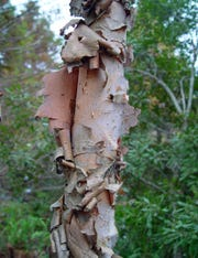 River birch is available in this year's Leon County Adopt-a-Tree Program and has attractive bark which peels off in papery, film like curls.