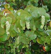 Sea grapes are only produced on female trees and are good for eating fresh or making jelly, wine, or vinegar.
