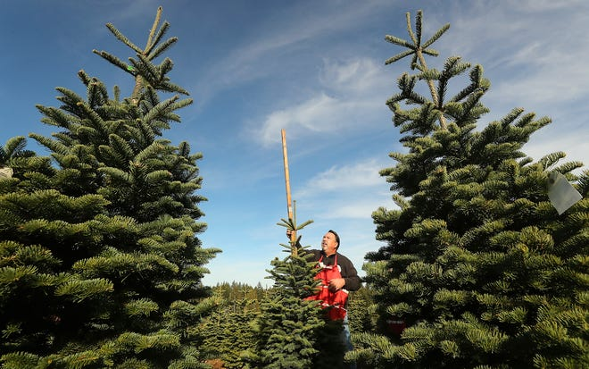 Randy Billick measures the height of a noble fir as he and his wife, Karen, put price tags on trees for harvest at Huberts Christmas Trees in Bremerton on Nov. 6. Prepping trees for the holiday season is a year-round job for Christmas tree farmers.