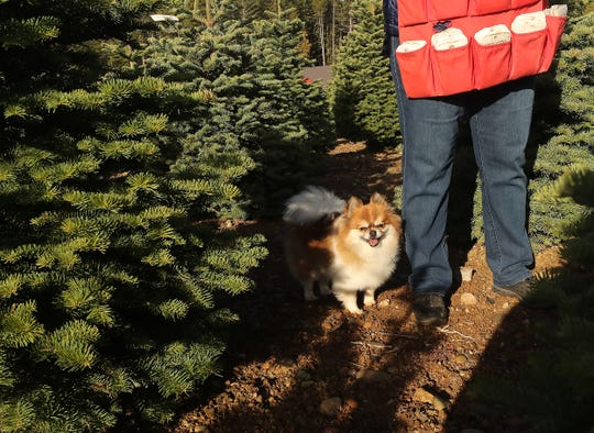 Teddy follows right on Karen Billick's heels as they move along the rows tagging trees at Hubert's Christmas Trees in Bremerton.