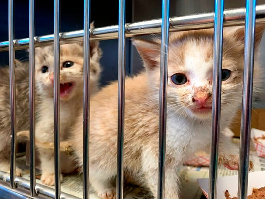 This photo provided by Pennsylvania SPCA shows two kittens that were among the 98 animals rescued from a self-proclaimed rescue organization in Lebanon, Pa., County on Wednesday, Oct.  23, 2019. The Pennsylvania Society for the Prevention of Cruelty to Animals says it rescued 83 cats and 10 dogs from unsafe conditions at a self-proclaimed rescue facility.