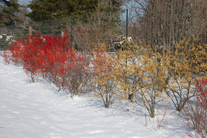 Winterberry Holly also comes in yellow and orange fruited forms.