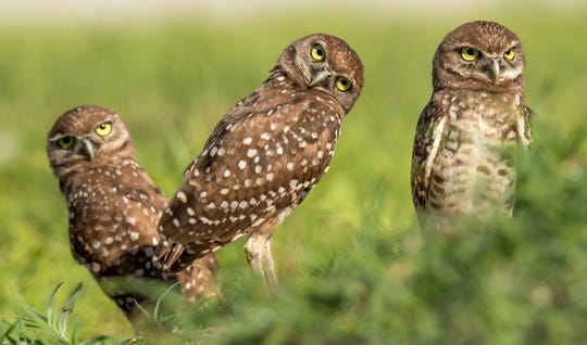 Last season resulted in252 nesting pairs of burrowing owls establishedon the island, raising as many as a thousand young owlets, the Eaglereported. That's 58 more pairs than in 2018.