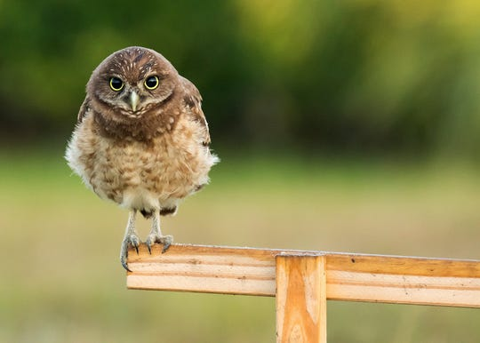 An owl perches on the roosting bar provided by Owl Watch. Marco Island has a thriving burrowing owl population, and a dedicated cadre of volunteers who work to keep them safe.